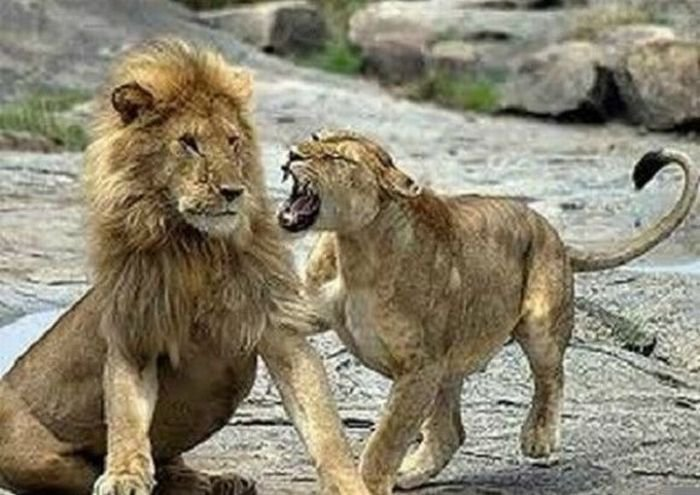 Секс девушки львицы с парнем львом